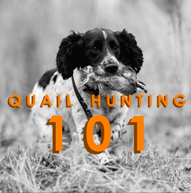 Quail Hunting 101
